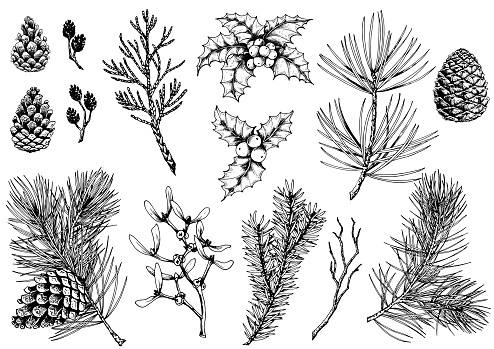 Vector set of pine branches, cones, holly berries, thuja, mistletoe, fir, alder cones and dry twig.
