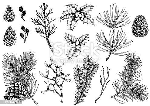 Vector set of pine branches, cones, holly berries, thuja, mistletoe, fir, alder cones and dry twig. Isolated elements for design.