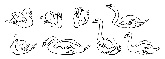 Vector set of silhouettes of swans in different poses. isolated on a white background. Collection of linear Swans icons. Vector illustration in sketch style.  decorative birds. hand drawn
