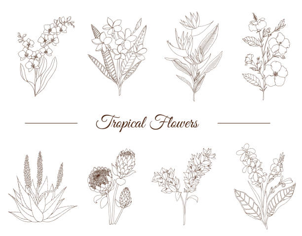 Vector set of tropical flowers isolated on white background. Hand drawn plumeria,  canna,  aloe,  bougainvillea,  hibiscus , protea,  orchid,  strelitzia. Floral outline. Coloring page. Sketch style. Tropic design elements. Vector set of tropical flowers isolated on white background. Hand drawn plumeria,  canna,  aloe,  bougainvillea,  hibiscus , protea,  orchid,  strelitzia. Floral outline. Coloring page. Sketch style. Tropic design elements. bird of paradise plant stock illustrations