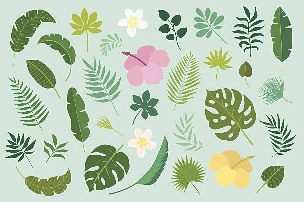 Vector set of tropical leaves and flowers Vector set of tropical leaves. Palm leaf, banana leaf, hibiscus, plumeria flowers. Jungle trees.Botanical (floral) illustration frangipani stock illustrations