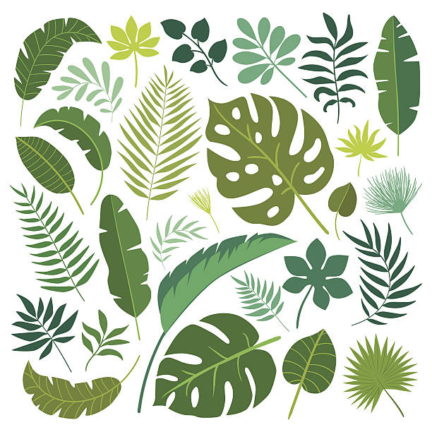 Vector set of tropical leaves. Vector set of tropical leaves. Palm leaf, banana leaf. Jungle trees.Botanical (floral) illustration backgrounds clipart stock illustrations