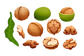 Vector set of walnut. Constructor with different stages of walnut growing, half and whole, raw and dry. Quater, top and side views. Vector illustration in cartoon style isolated on white