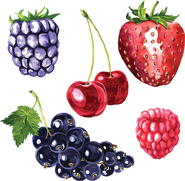 vector set of watercolor drawing berries vector set of watercolor drawing berries, hand drawn vector illustration black currant stock illustrations