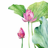 vector Set of Watercolor Illustration two Lotus, isolated on white background. Elements for design of invitations, movie posters, fabrics and other objects.