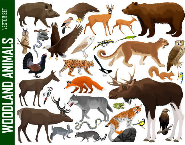 stockillustraties, clipart, cartoons en iconen met vector set van bos dieren - roofdieren