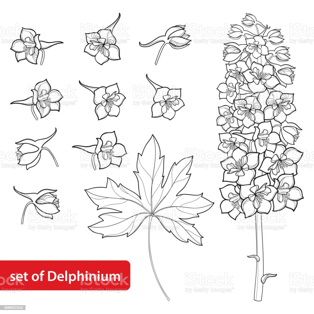 Vector Set With Delphinium Or Larkspur Flower Bunch Bud