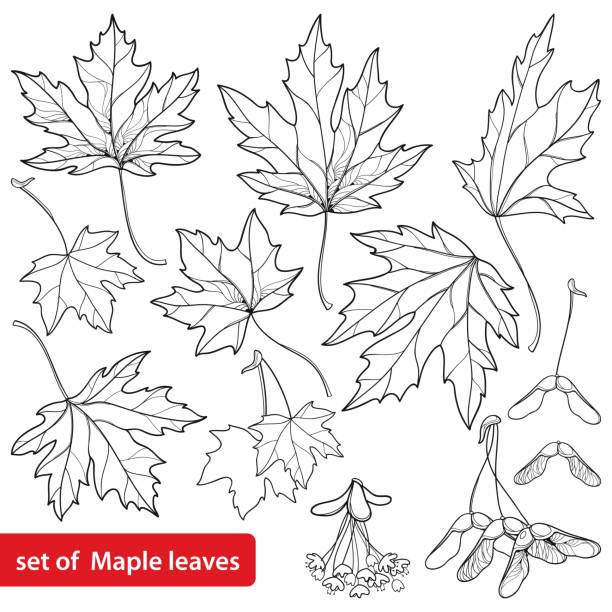 Vector set with outline Acer or Maple ornate leaves, fruit or samara and flower bunch in black isolated on white background. Vector set with outline Acer or Maple ornate leaves, fruit or samara and flower bunch in black isolated on white background. Foliage of Maple tree in contour style for autumn design or coloring book. maple leaf stock illustrations
