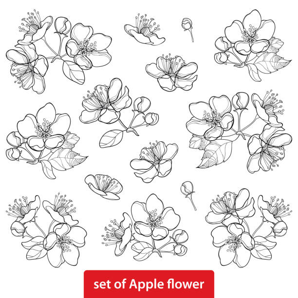 Vector set with outline blossoming Apple flower bunch and foliage in black isolated on white background. Vector set with outline blossoming Apple flower bunch and foliage in black isolated on white background. Ornate blossom Apple flowers and leaves in contour style for spring design and coloring book. apple blossom stock illustrations