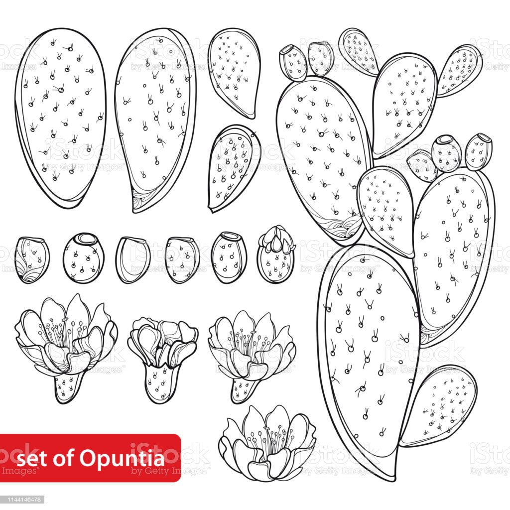 vector set with outline cactus indian fig opuntia or prickly pear vector id