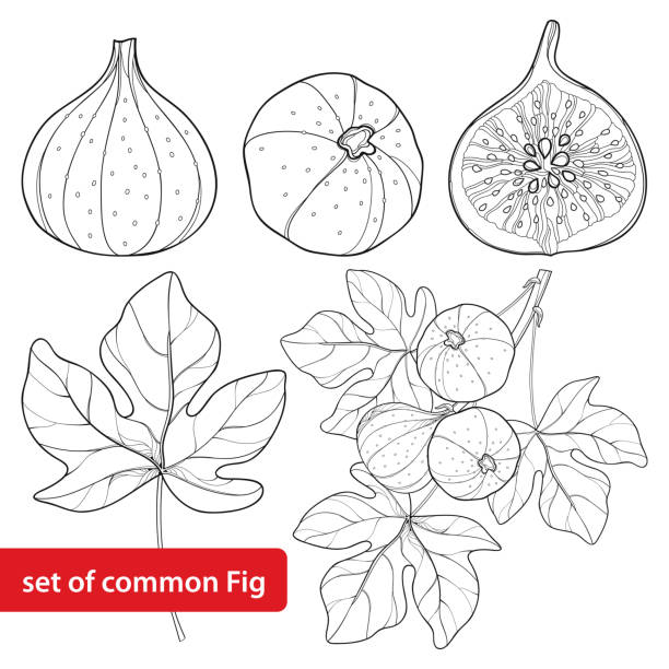 Vector set with outline Common Fig or Ficus carica fruit, slice, leaf and branch isolated on white background. Vector set with outline Common Fig or Ficus carica fruit. Slice, leaf and branch isolated on white background. Perennial subtropical plant in contour style for exotic summer design and coloring book. fig stock illustrations