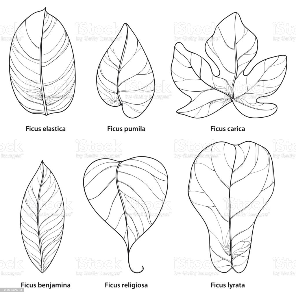 Vector set with outline different Ficus leaf isolated on white background. vector art illustration