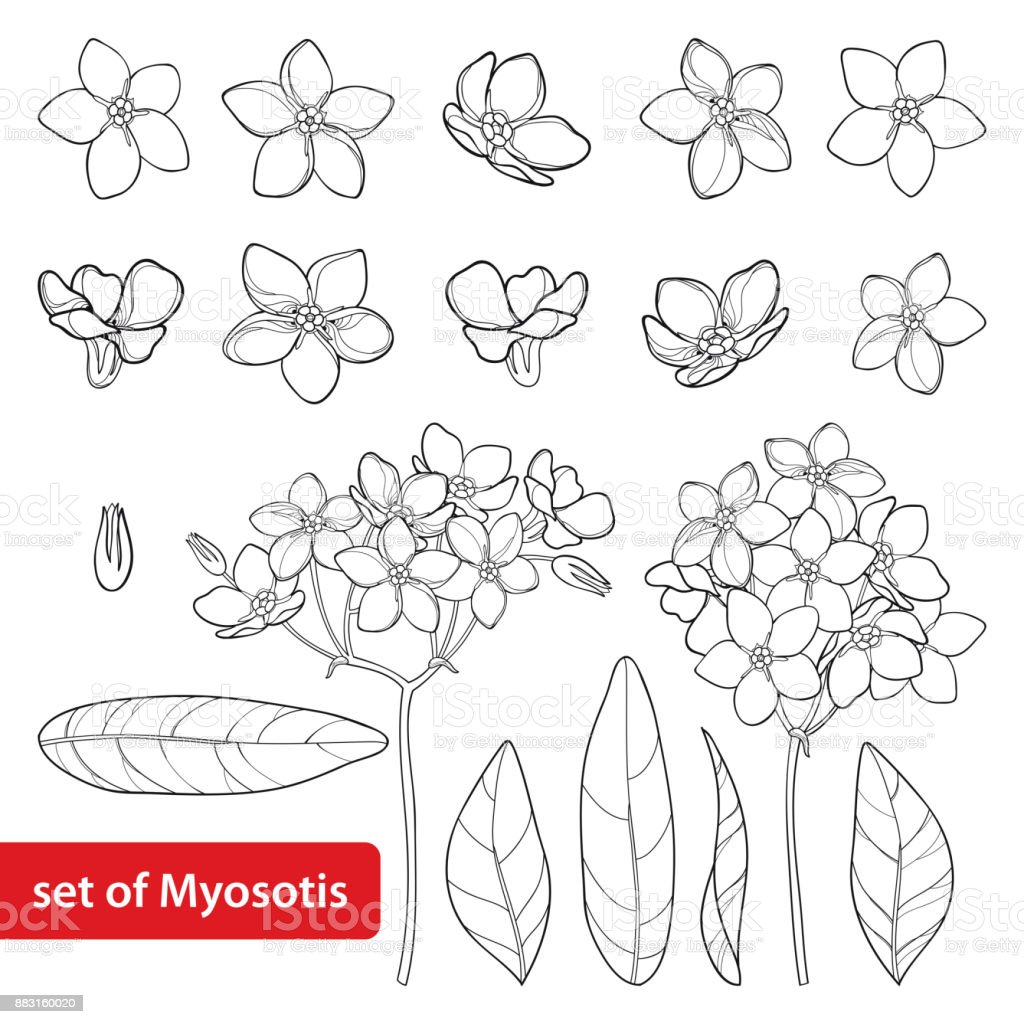 Coloriage Fleur Myosotis.Set De Vector Avec Contour Noubliezmoi Pas Ou Fleur De Myosotis