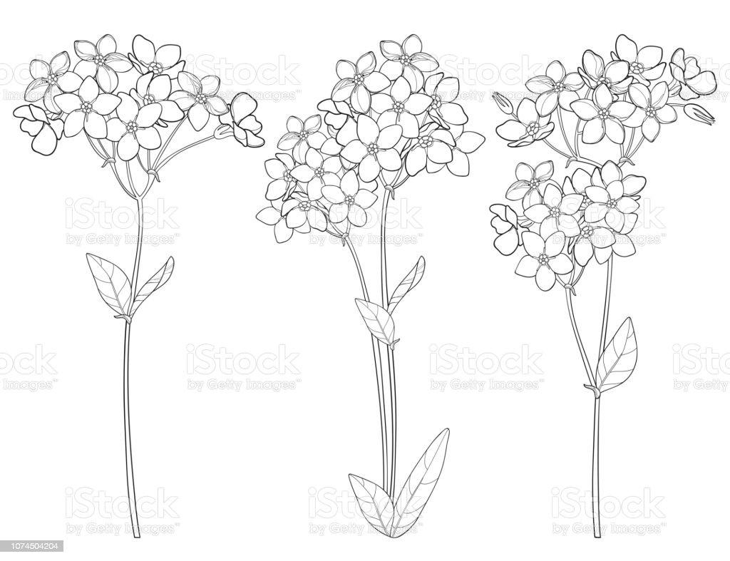 Coloriage Fleur Myosotis.Set De Vector Avec Contour Noubliezmoi Pas Ou Myosotis Bouquet De