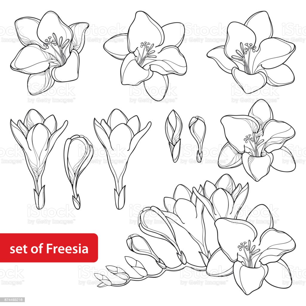 Vector Set With Outline Freesia Flower Bunch And Ornate Bud In Black Isolated On White Background Stock Illustration Download Image Now Istock