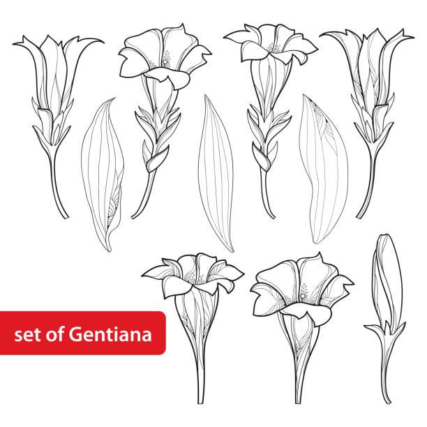 stockillustraties, clipart, cartoons en iconen met vector set met overzicht gentiaan flower, bud en blad geïsoleerd op een witte achtergrond. - gentiaan