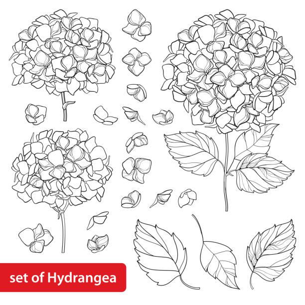 stockillustraties, clipart, cartoons en iconen met vector set met overzicht hydrangea of hortensia bloem bos en sierlijke bladeren in zwart geïsoleerd op een witte achtergrond. - hortensia