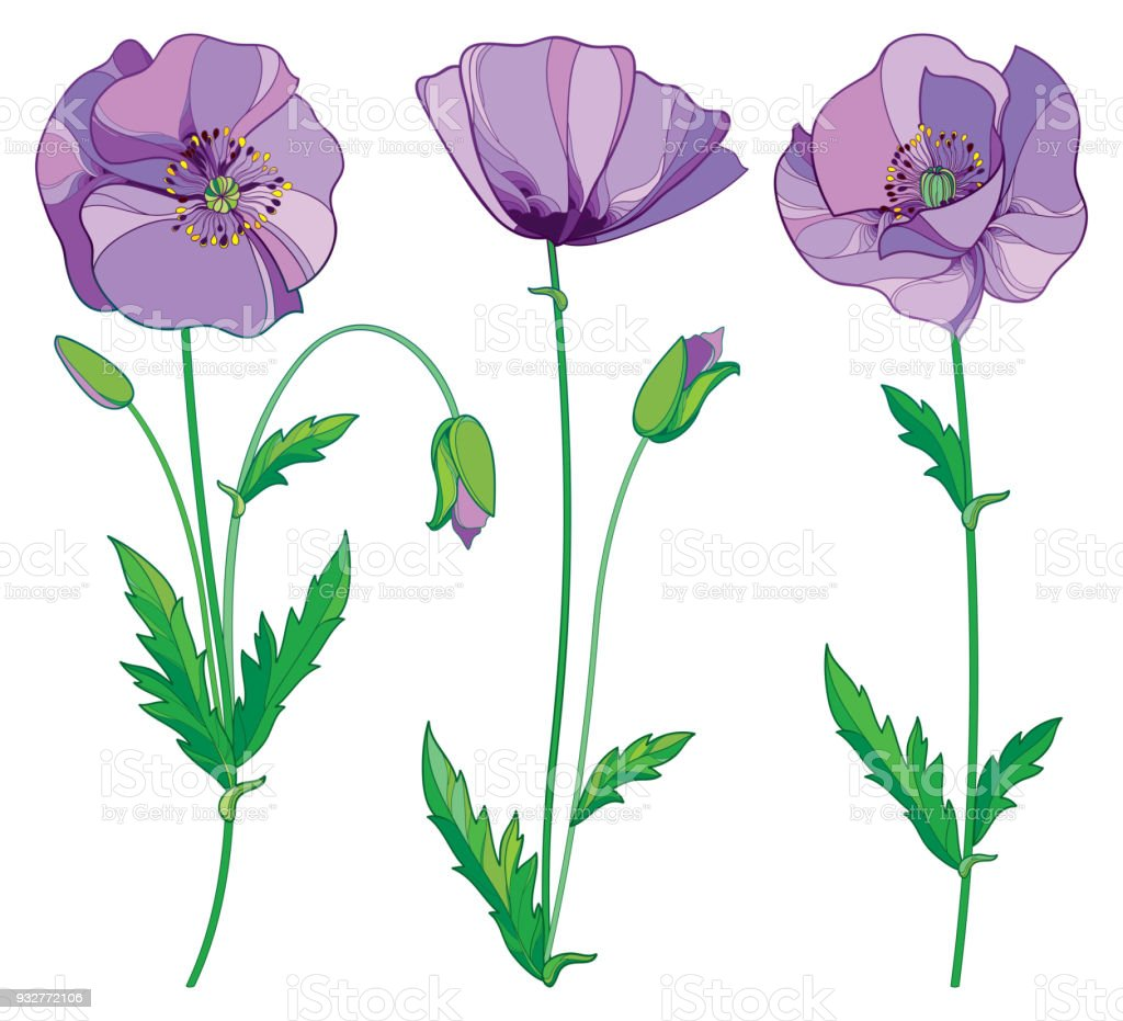 Vector set with outline lilac poppy or papaver flower bud and green vector set with outline lilac poppy or papaver flower bud and green leaves isolated on mightylinksfo Choice Image