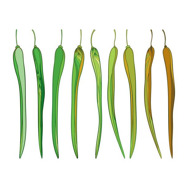 vektor-set mit gliederung moringa oleifera oder drumstick oder meerrettich reich verzierte hülsen in grün und braun isoliert auf weißem hintergrund. - wunderbaum stock-grafiken, -clipart, -cartoons und -symbole