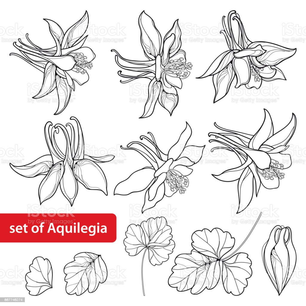 Vector set with outline ornate aquilegia or columbine flower bud and vector set with outline ornate aquilegia or columbine flower bud and leaf in black isolated izmirmasajfo