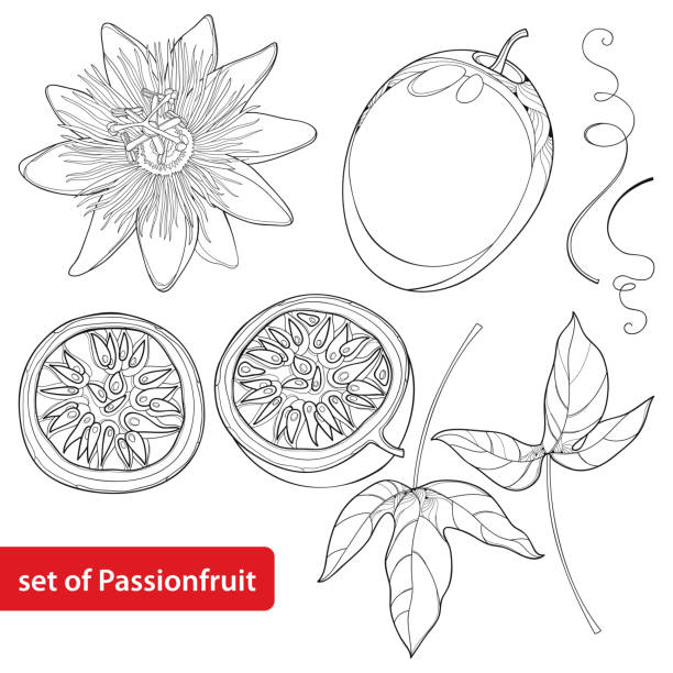illustrazioni stock, clip art, cartoni animati e icone di tendenza di vector set with outline passion fruit or maracuya, half fruit, leaf and flower isolated on white background. - passiflora