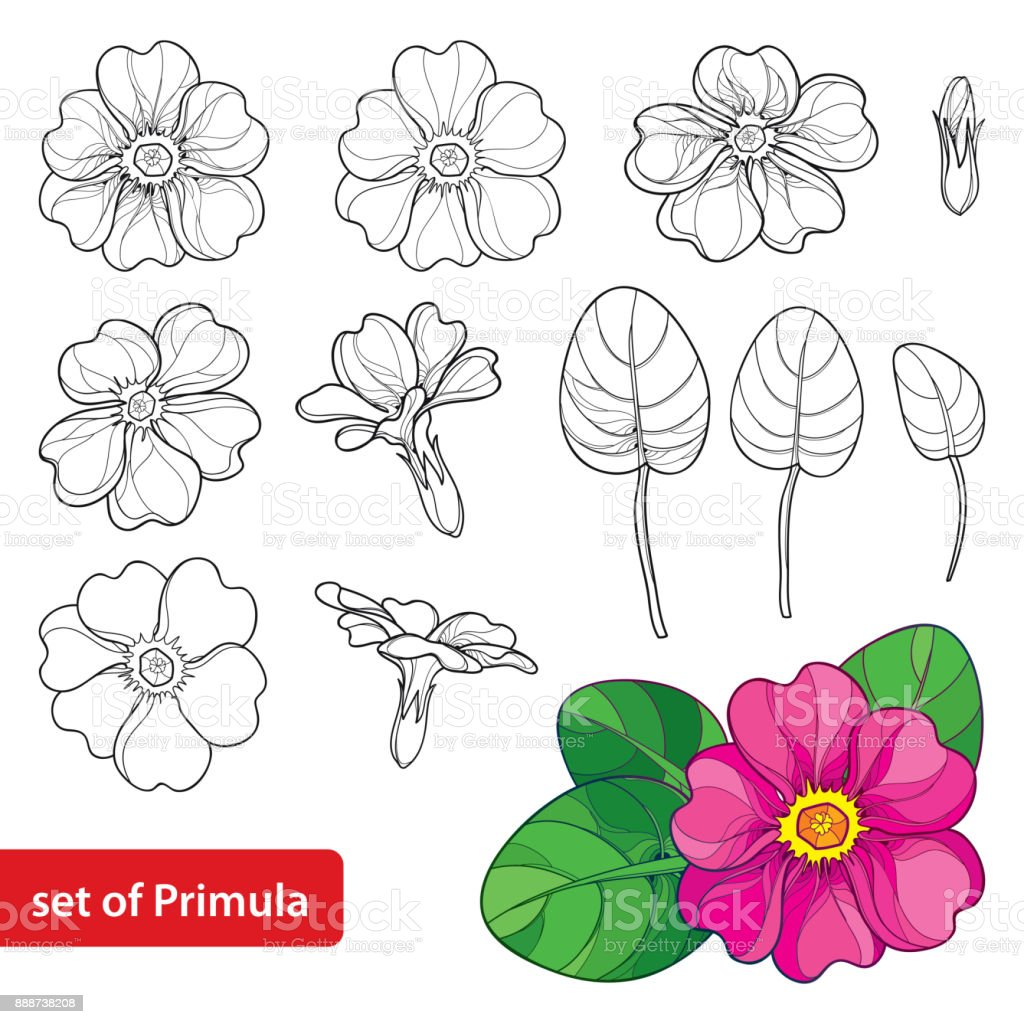 Vector Set With Outline Primula Or Primrose Flower Leaves And Bud In