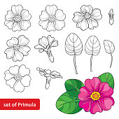Vector set with outline Primula or Primrose flower, leaves and bud in black and pink isolated on white background. Spring blossom of Primula in contour style for springtime design and coloring book.