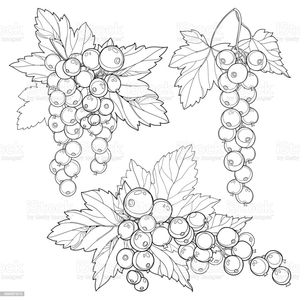 Vector Set With Outline Red Currant Bunch Berry And Leaves In