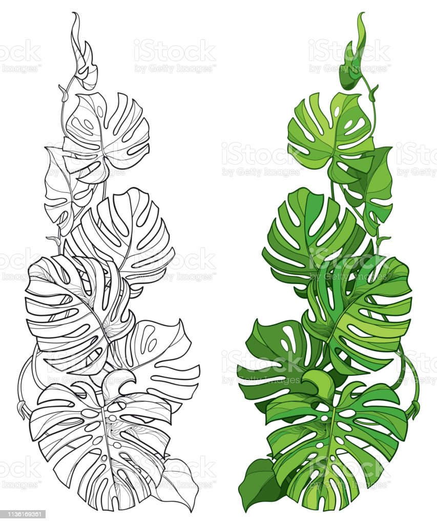 Vector Set With Outline Tropical Monstera Or Swiss Cheese Plant Leaf Bunch In Black And Green Isolated On White Background Stock Illustration Download Image Now Istock Tropical leaves hand drawn design vector. vector set with outline tropical monstera or swiss cheese plant leaf bunch in black and green isolated on white background stock illustration download image now istock