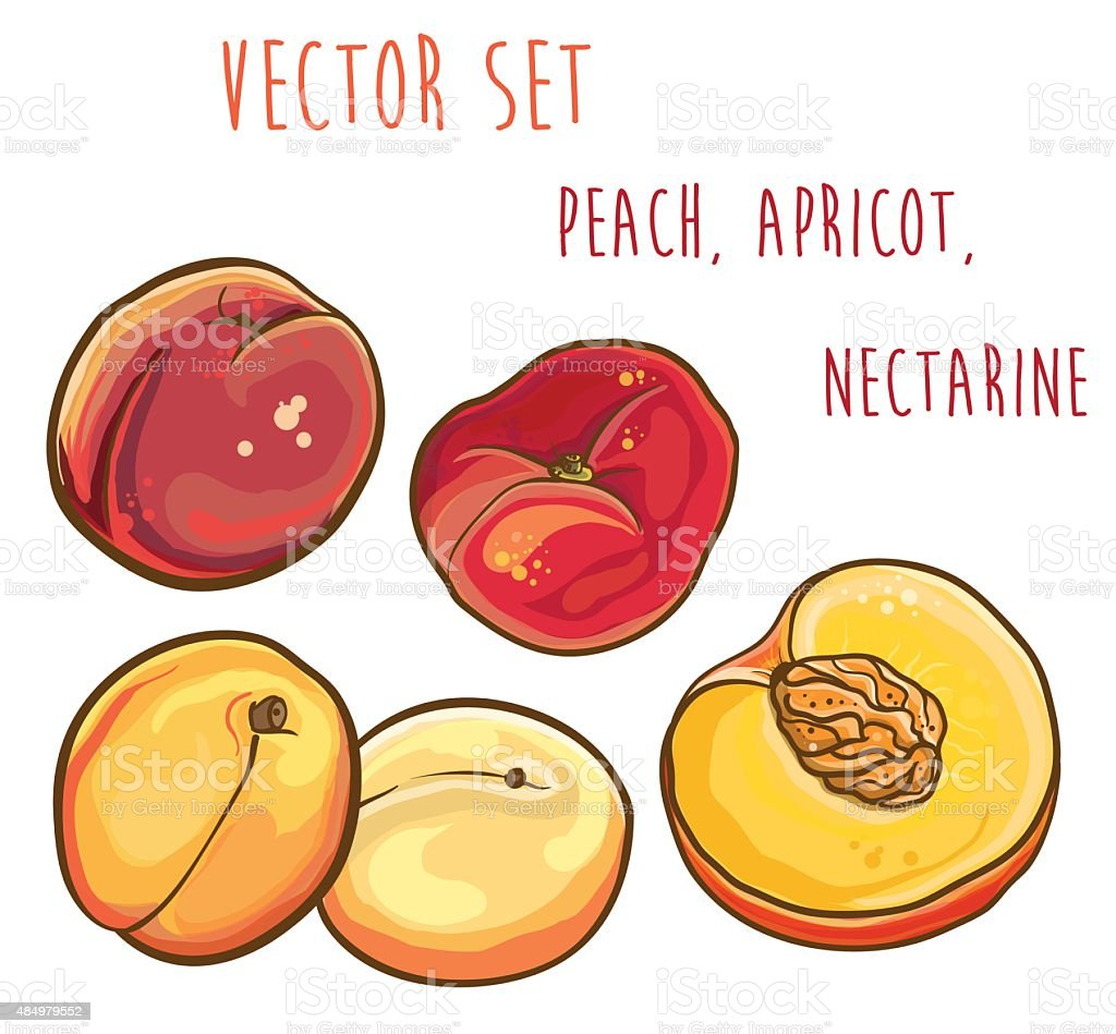 Vector set with peach, apricot, nectarine. vector art illustration