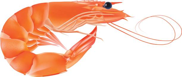 Vector Shrimp, Seafood. Prawn With head and legs. Illustration isolated on white background vector art illustration