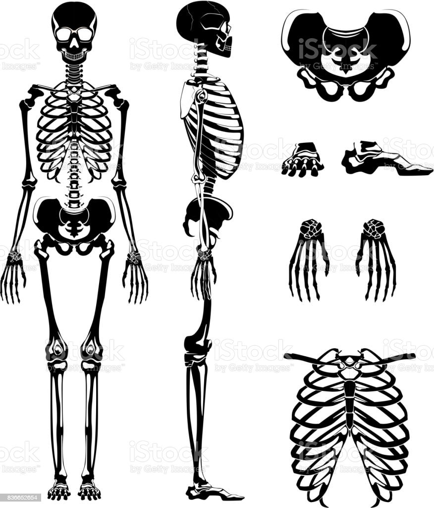 Vector Silhouette Of Human Skeleton Anatomy Pictures Different Bones