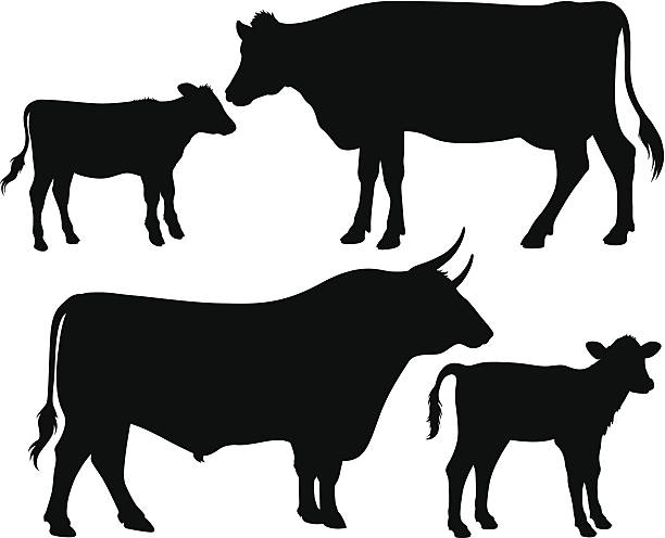 vector silhouettes of a bull, a cow and a calf Quality black and white vector silhouettes of a bull, a cow and a calf calf stock illustrations