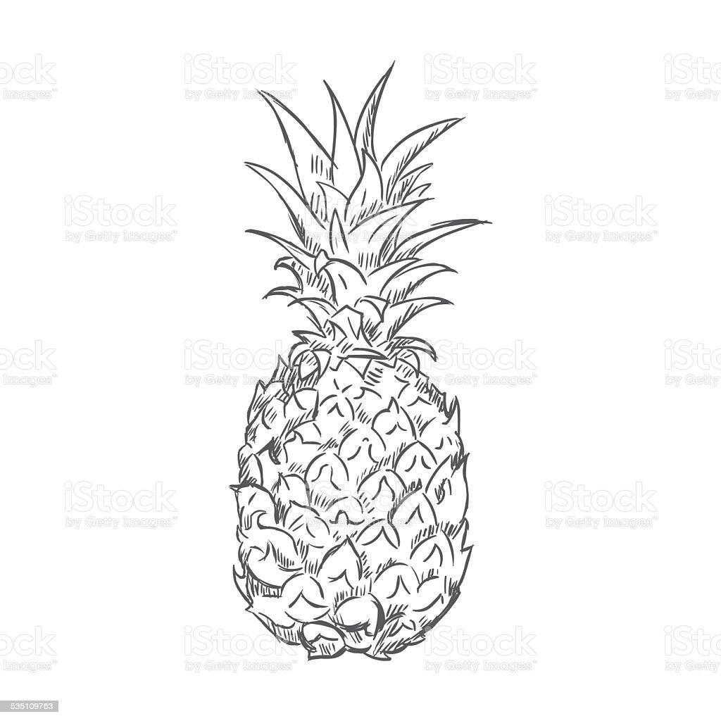 Vector Single Sketch Pineapple stock vector art 535109763 ...
