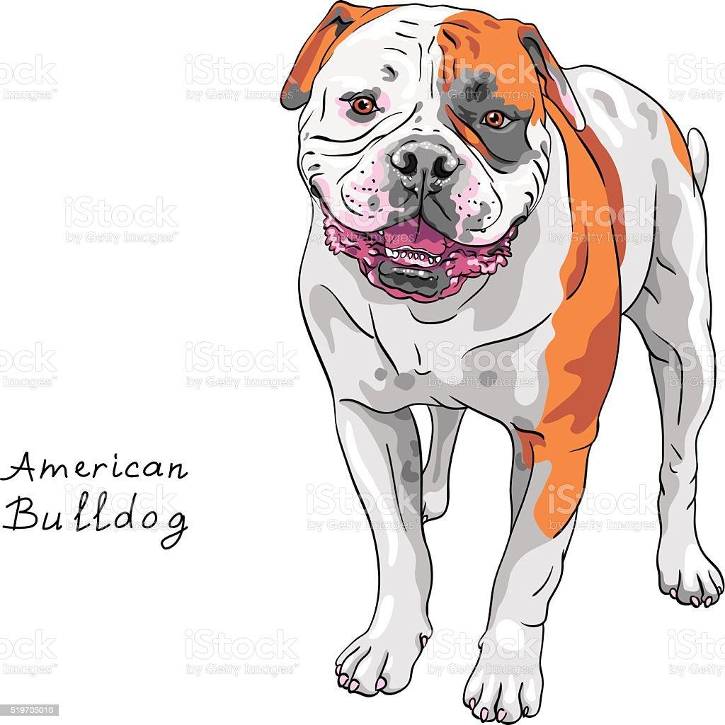 vector sketch dog American Bulldog breed vector art illustration