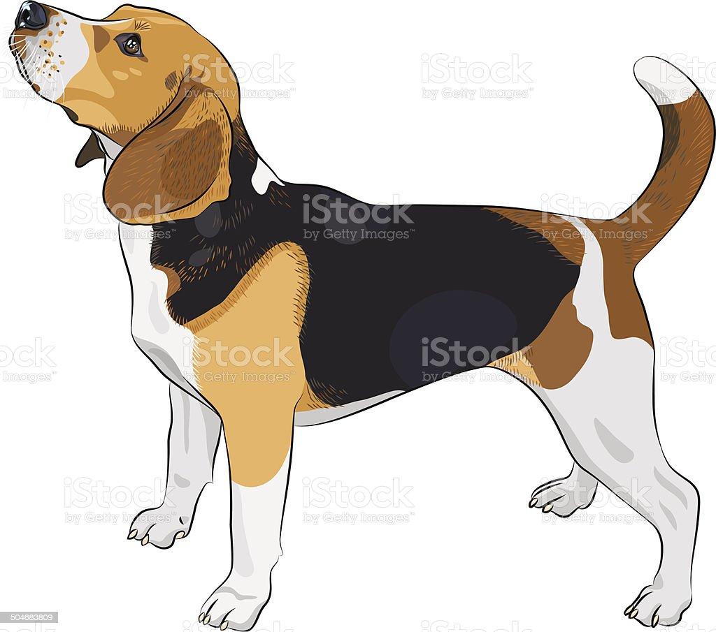 vector boceto perro Beagle breed - ilustración de arte vectorial