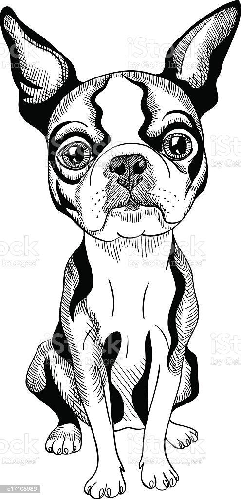 vector sketch dog Boston Terrier breed serious vector art illustration