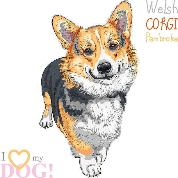 vektor-skizze hund pembroke welsh corgi pembroke lächeln - langhaarspitzen stock-grafiken, -clipart, -cartoons und -symbole