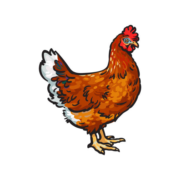 bildbanksillustrationer, clip art samt tecknat material och ikoner med vector skiss hand dras kyckling isolerade - höna