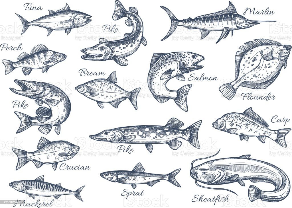 Vector sketch icons of fish of river or sea vector art illustration