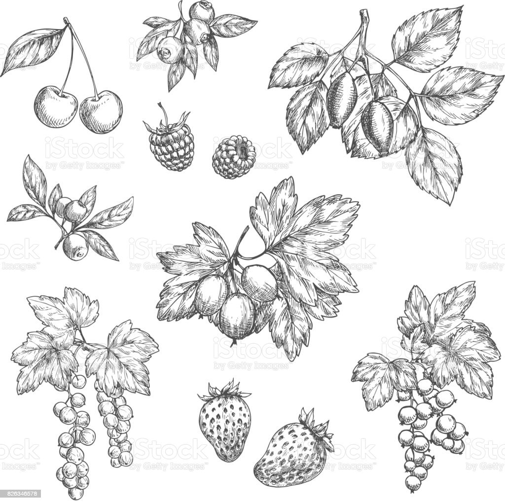 Vector sketch icons of fresh berries and fruits vector art illustration