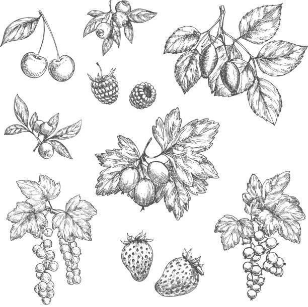illustrations, cliparts, dessins animés et icônes de icônes de croquis vecteur de fruits et de baies fraîches - fraise