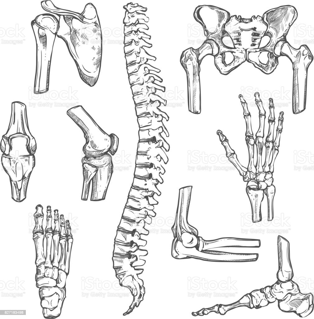 Vector sketch icons of human body bones and joints vector art illustration