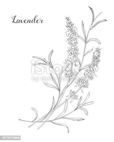 Beautiful boquet of lavender flowers.  Doodle, line art