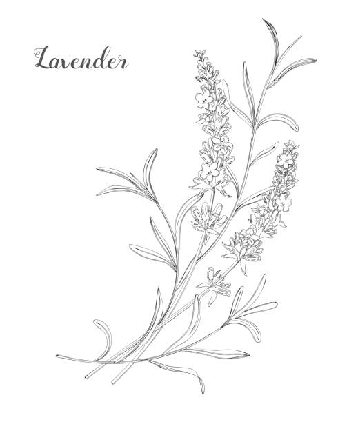 Vector sketch lavender illustration. Beautiful boquet of lavender flowers.  Doodle, line art lavender plant stock illustrations