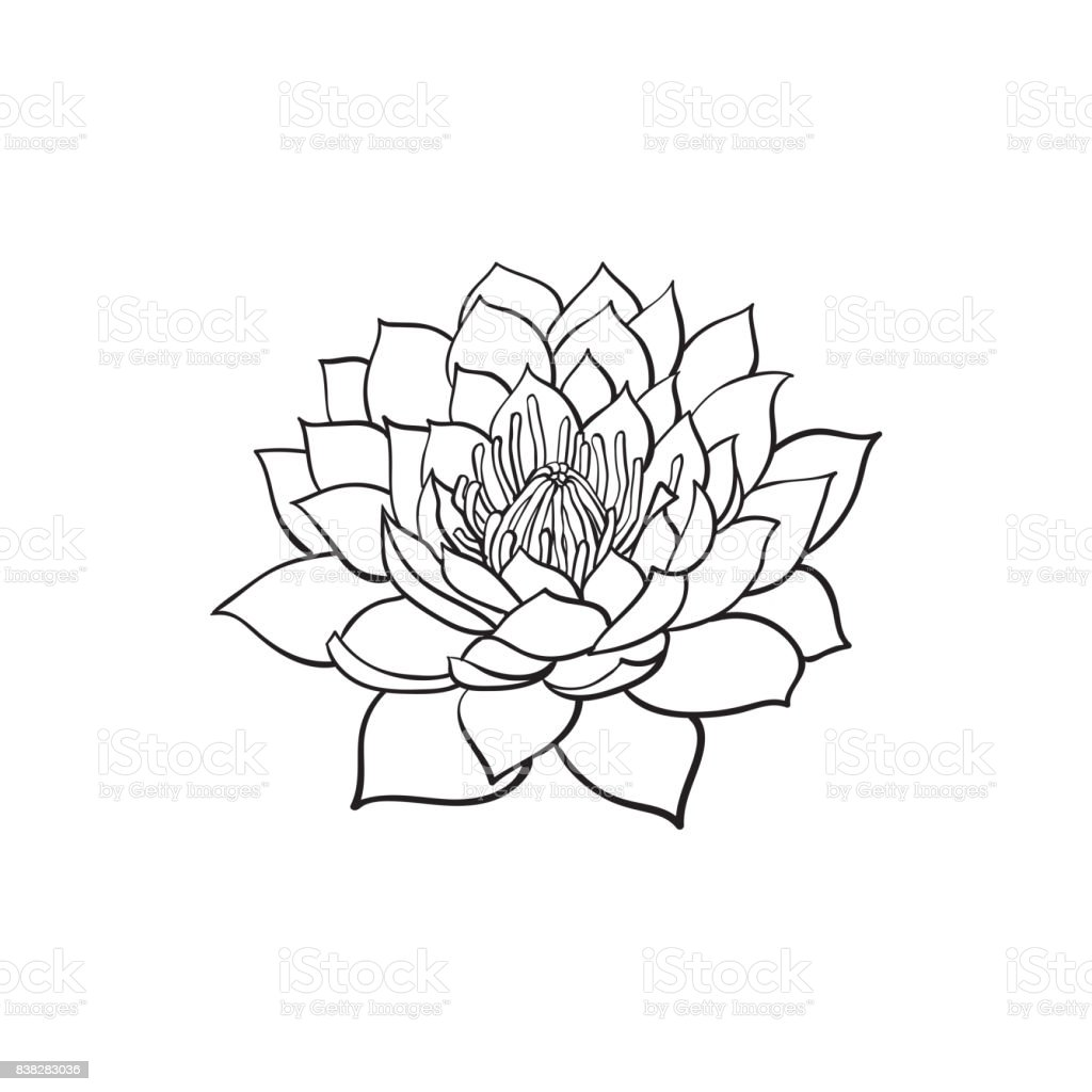 Vector sketch lotus flower blossom blooming stock vector art more vector sketch lotus flower blossom blooming royalty free vector sketch lotus flower blossom blooming stock mightylinksfo