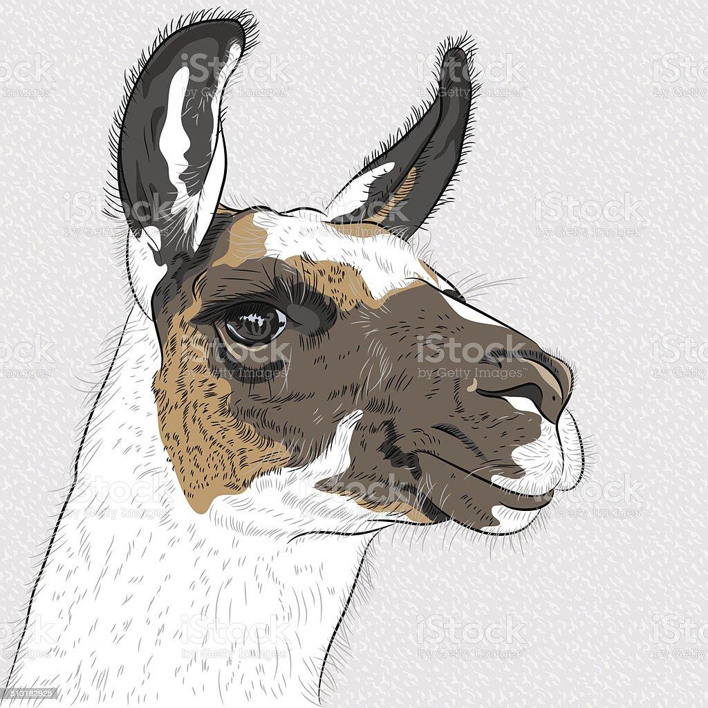 Vector Sketch Of Alpaca Stock Illustration - Download ...