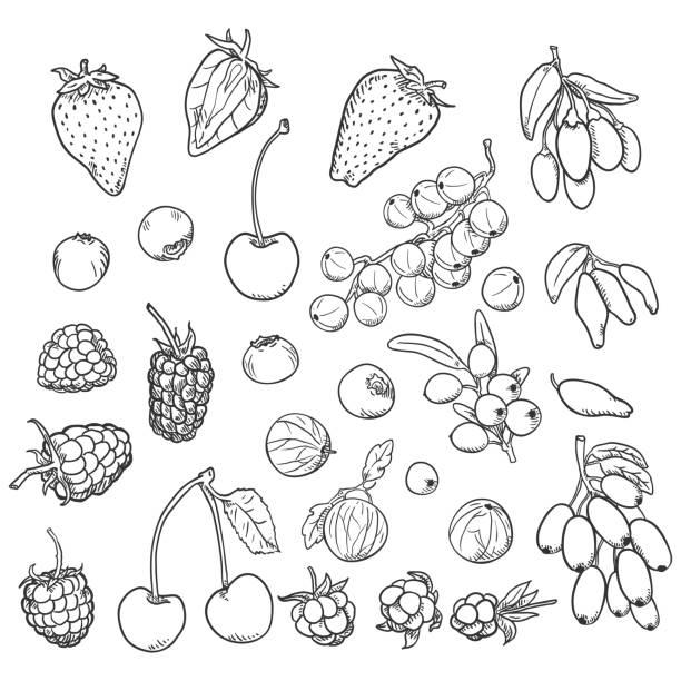 Vector Sketch Set of Berries Vector Sketch Set of Berries. Different Types honeysuckle stock illustrations