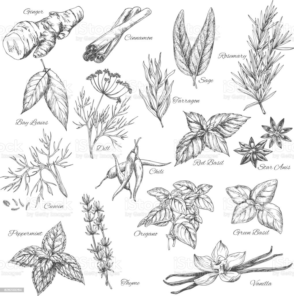 Vector sketch spices and herb plants flavorings vector art illustration