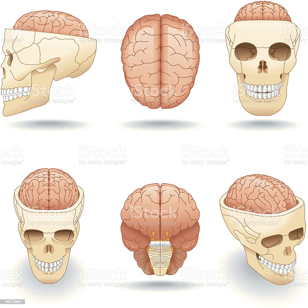 Vector Skull And Brain Stock Vector Art & More Images of Anatomy ...